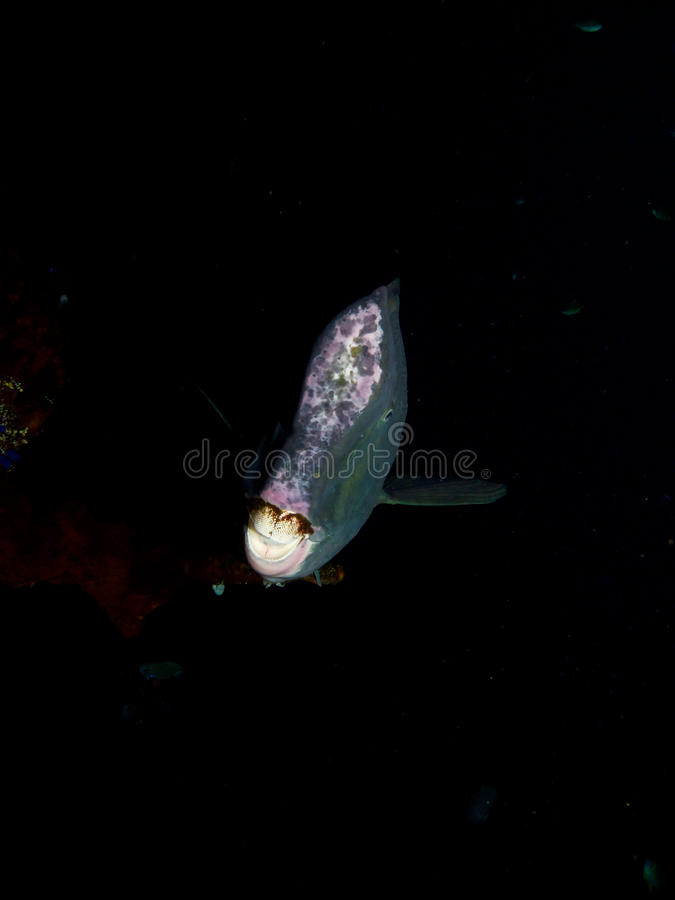 Bumphead parrotfish on the USAT Liberty 01 stock photos