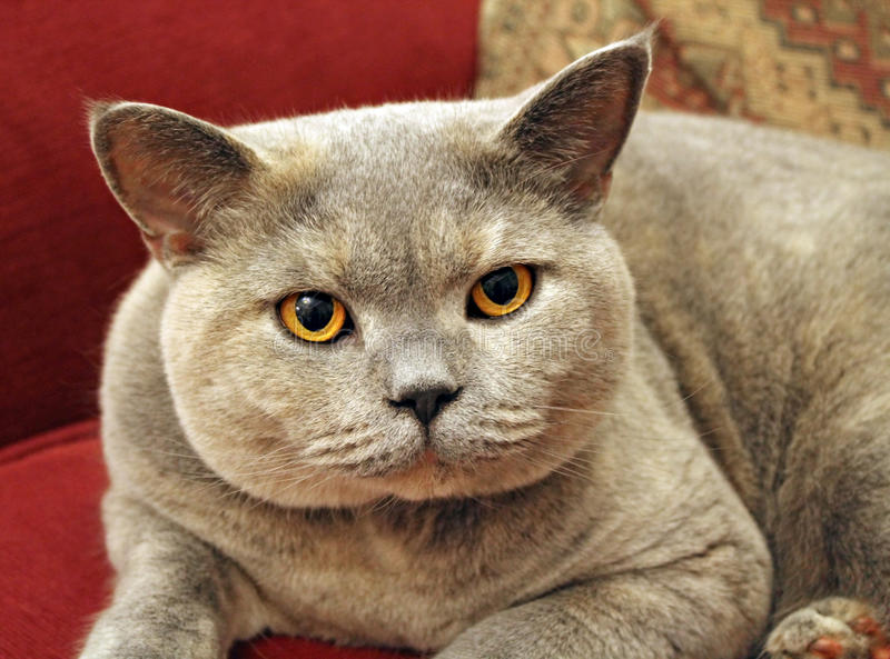 Bumpkin pose. Photo of a beautiful pedigree british shorthair breed cat with blue and cream fur and gorgeous bright orange eyes royalty free stock photo