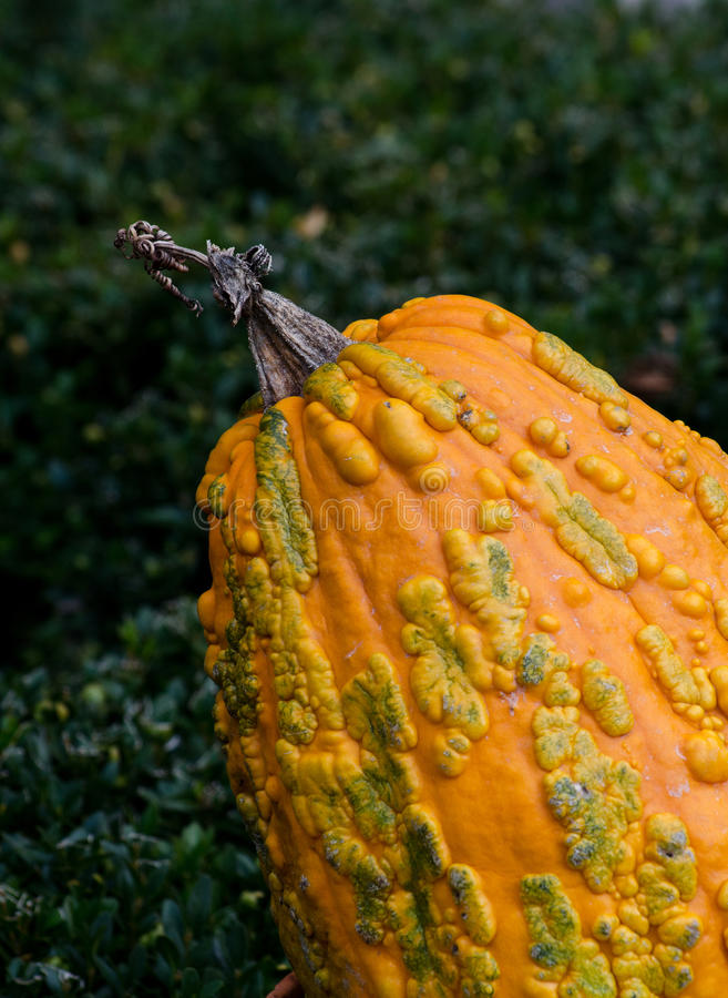 Bumpy orange gourd stock photography