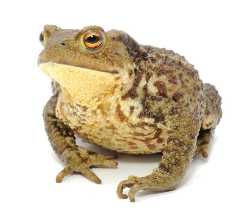 Download Bumpy Toad Close-up stock photo. Image of closeup, close - 20515460