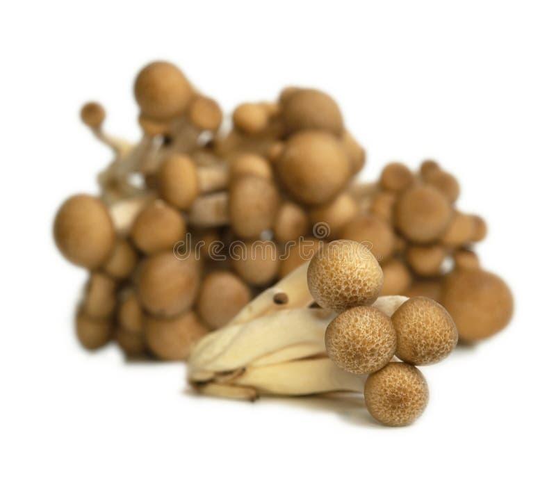 Download Buna Shimeji mushrooms stock image. Image of shimeji - 13371505