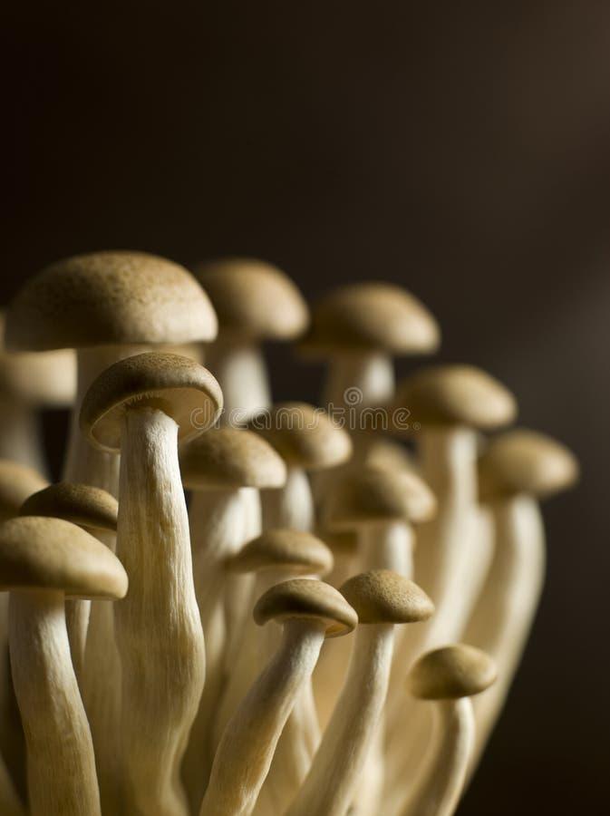 Buna Shimoji, faia de Brown, cogumelos fotografia de stock