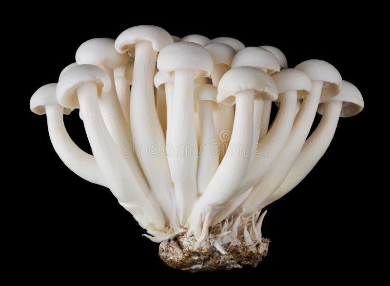 Bunapi Shimeji, champignons de hêtre blanc sur le fond noir photo libre de droits