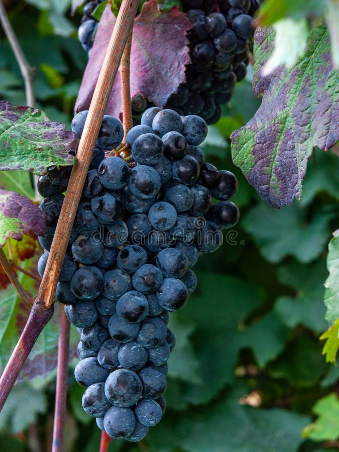 Free Bunch And Leaves Of Grape Cluster Lambrusco Di Modena, Italy Stock Image - 157243411