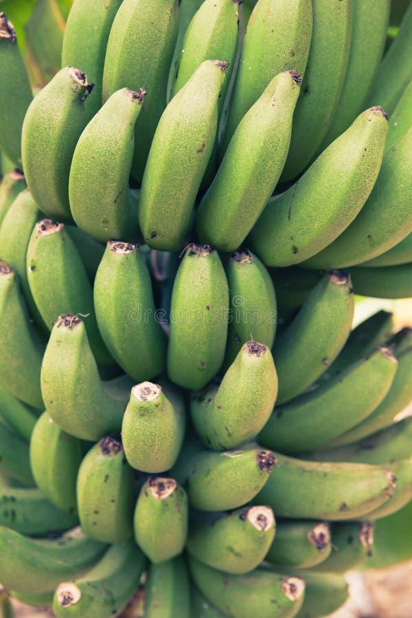 Download Bunch of bananas stock image. Image of garden, crop, harvest - 25834323