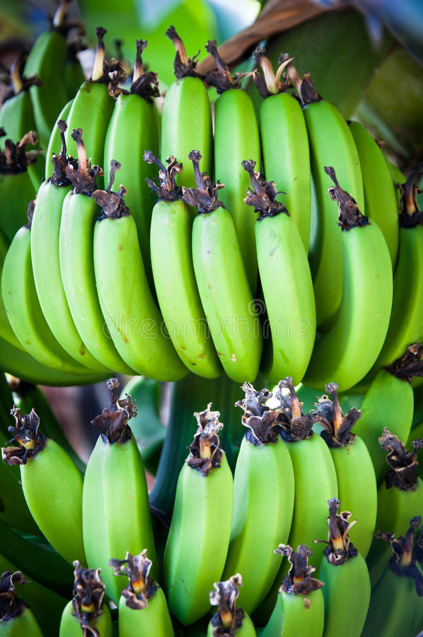 Bunch Of Bananas Royalty Free Stock Images