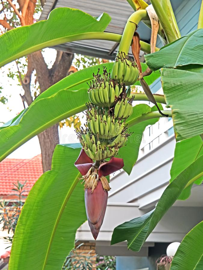 Bunch of Bananas with Banana Blossom on The Trunk royalty free stock photo
