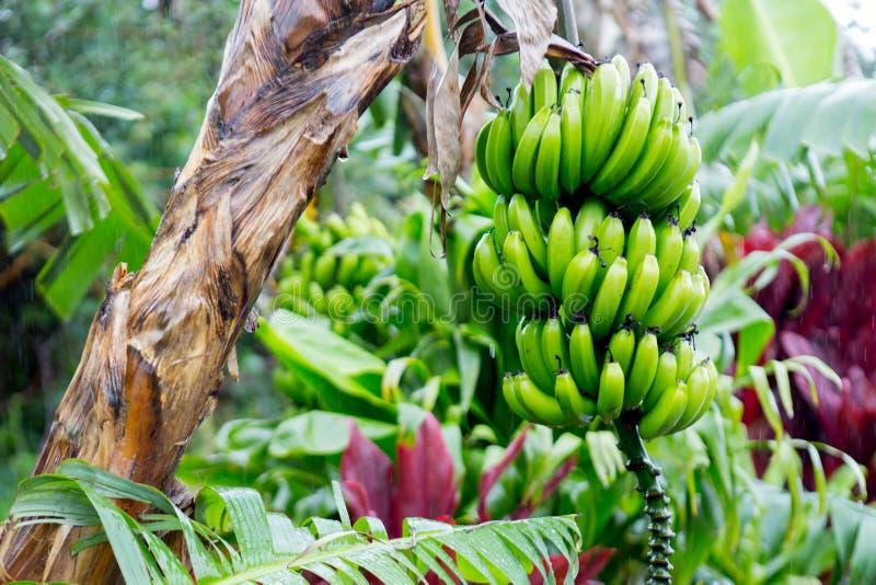 Bunch of bananas near Hana Highway, Maui, Hawaii. stock photo