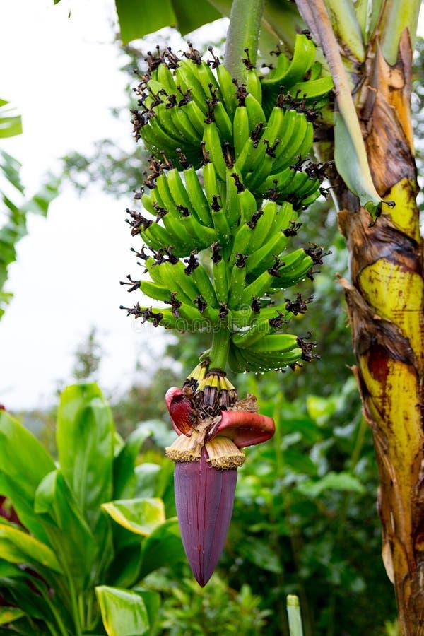Bunch of bananas near Hana Highway, Maui, Hawaii. royalty free stock photo