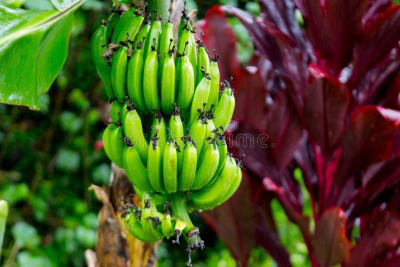 Bunch of bananas near Hana Highway, Maui, Hawaii. stock photos
