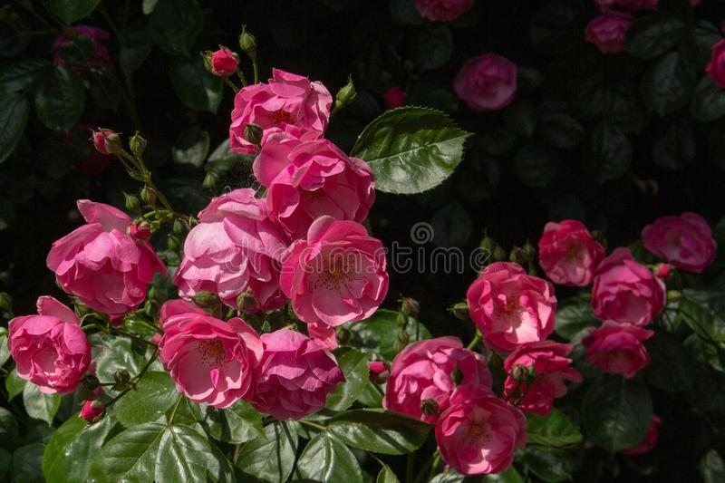 Beautiful pink roses on black background in nature stock images