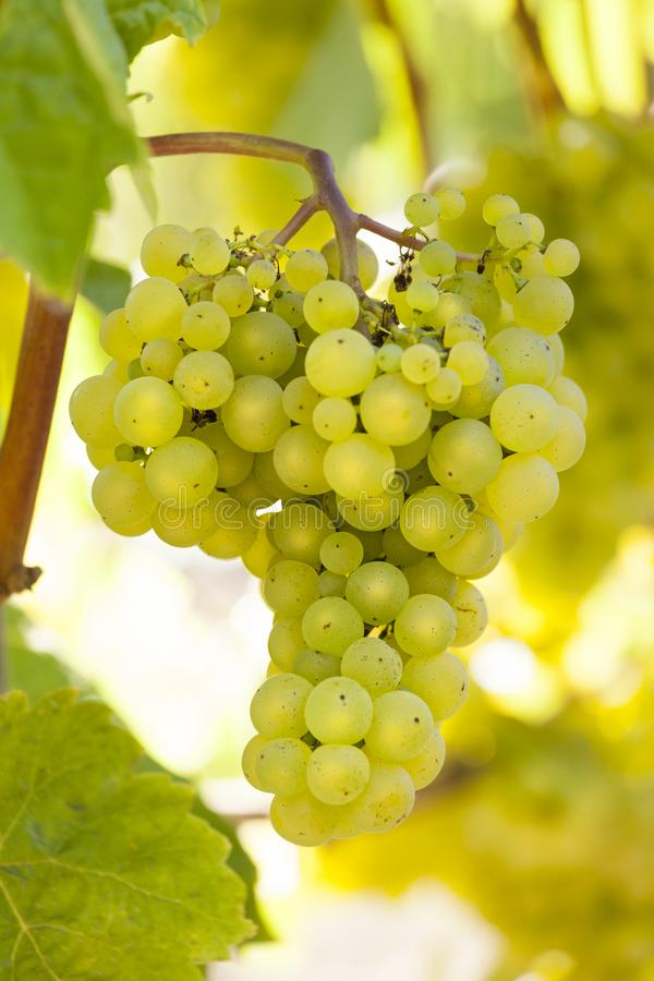 Bunch of beautiful, ripe white wine grapes growing on a grapevine in vineyard stock images