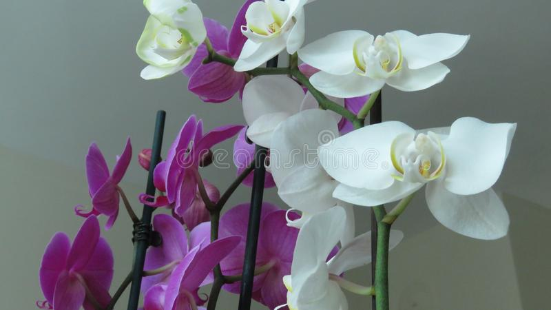 White and Pink Purple Orchid. Grey Background. Phalaenopsis known as moth. Orchids. A Bunch of Beautiful White and Pink Purple Orchids on Grey Background stock photos