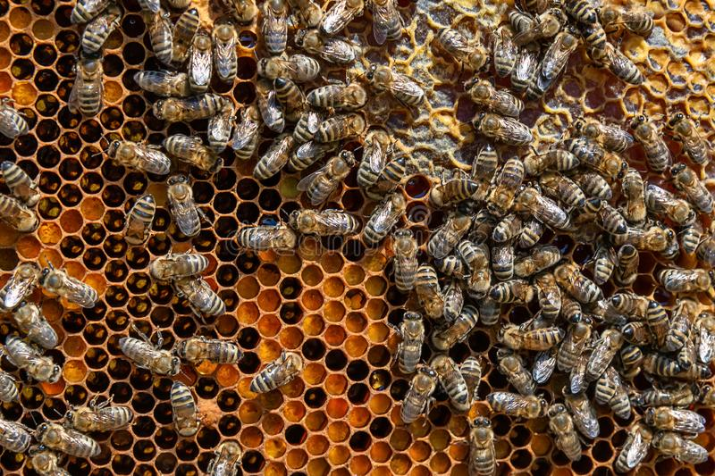 A bunch of bees on a honeycomb royalty free stock photos