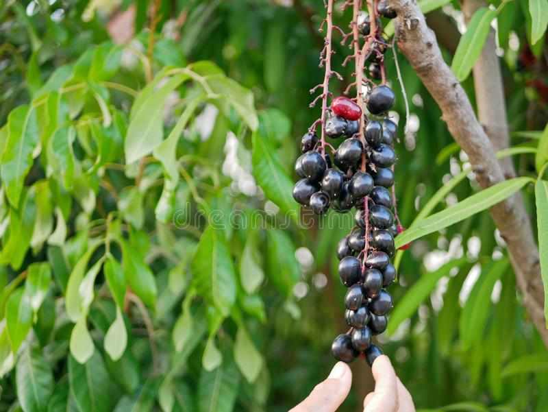 A bunch of black currants Ribes nigrum `Ometa`, Ribes nigrum Ometa, cultivar Ometa on the tree royalty free stock photo