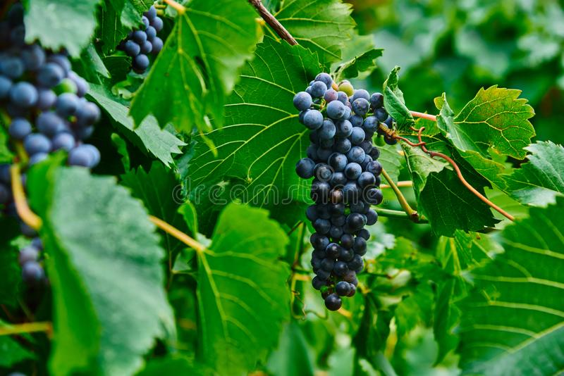 A bunch of black grapes on the vine. royalty free stock photography