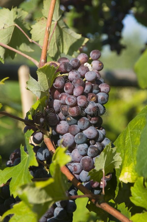 A bunch of black purple grapes on the grape vine in a vineyard in Italy. Bunch of black purple grapes on the grape vine in a vineyard in Italy royalty free stock photo
