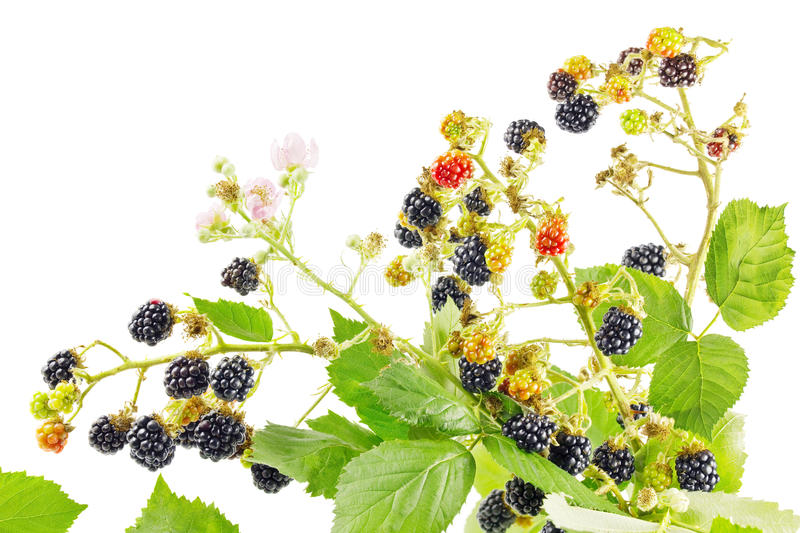 Bunch of blackberry branches stock photo