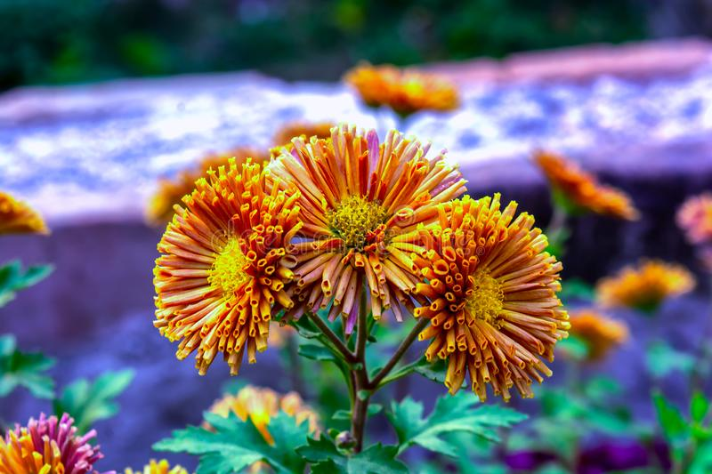 A bunch of blooming orange color chrysanthemum flower in a garden stock photo