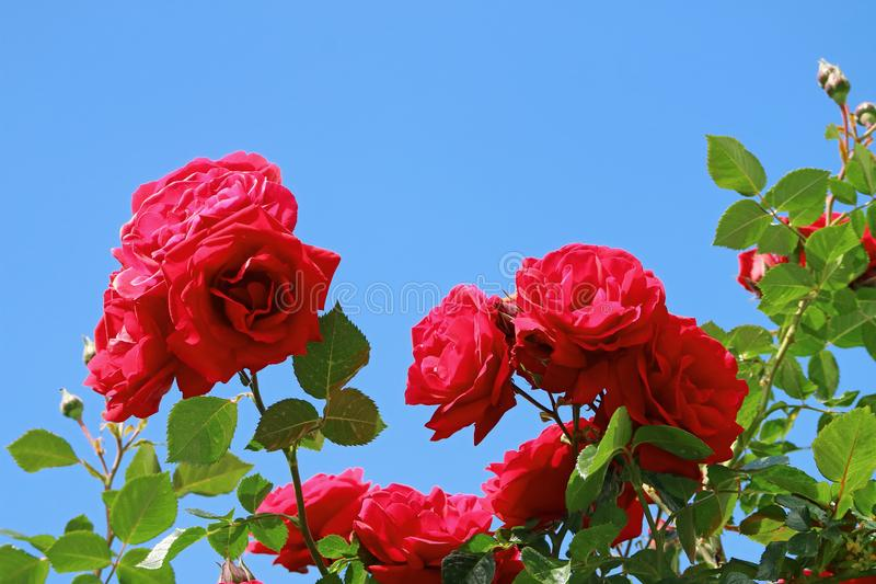 Bunch of Blooming Red Rose Flowers Against Vivid Blue Sunny Sky, Cusco, Peru royalty free stock image