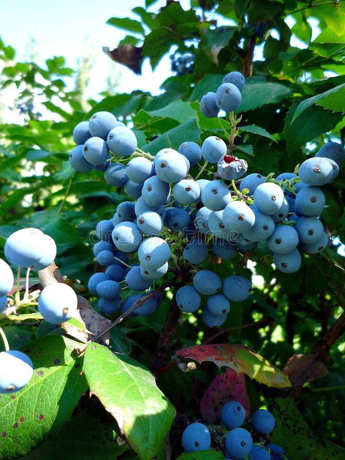 A bunch blue berries on a summer day royalty free stock images