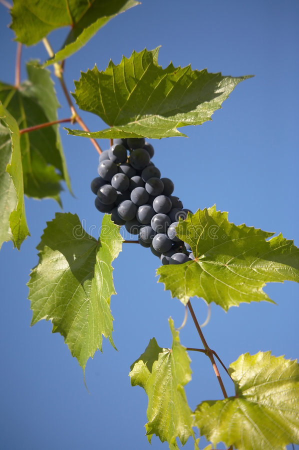 Bunch of blue grape. Bunches of blue grape with blue sky on background royalty free stock photography