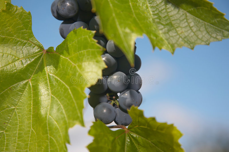 Bunch of blue grape. Bunches of blue grape with blue sky on background royalty free stock image