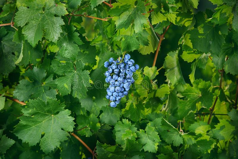 Bunch of blue grapes hanging in green leaves stock photos