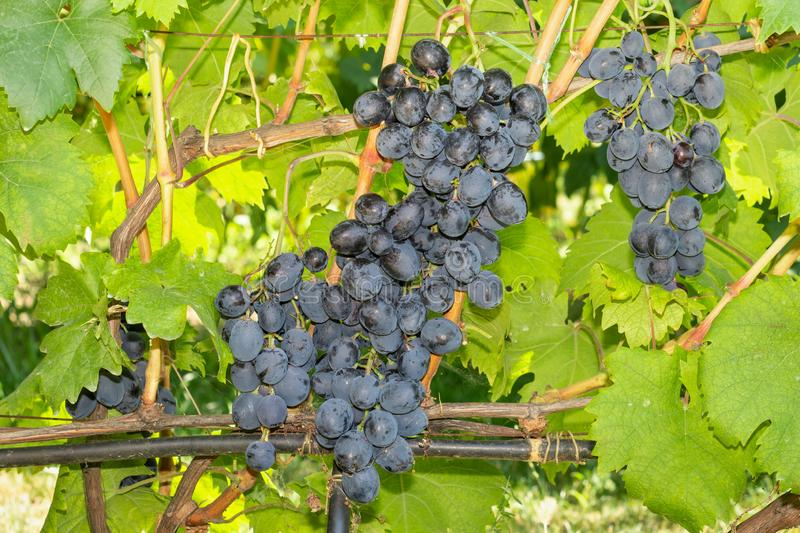 Bunch of blue grapes on the vine and green leaves. Industrial Grape Garden royalty free stock photo