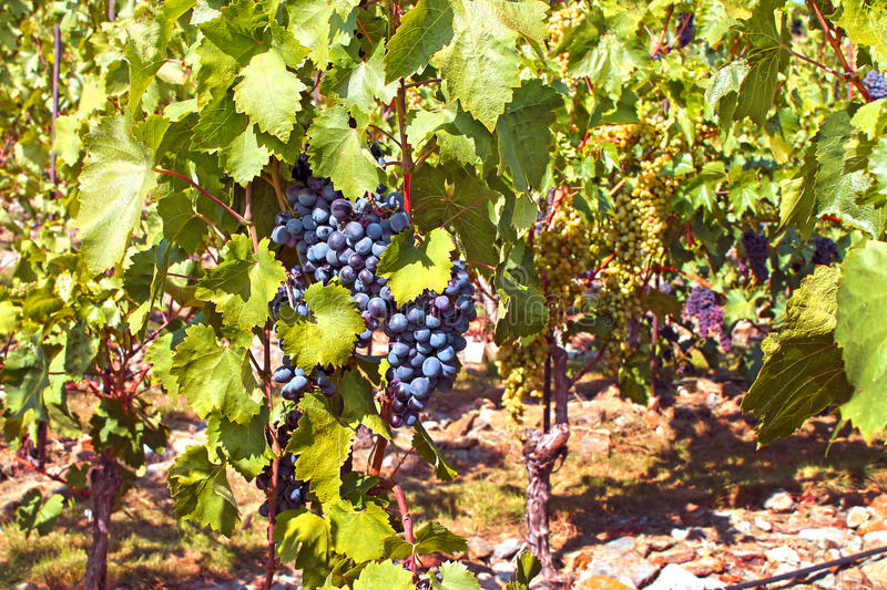 Bunch of blue grapes royalty free stock image