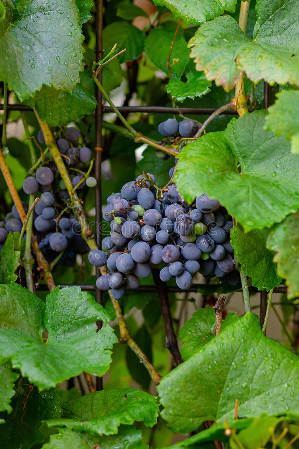 A bunch of blue ripe grapes on the vine stock photography