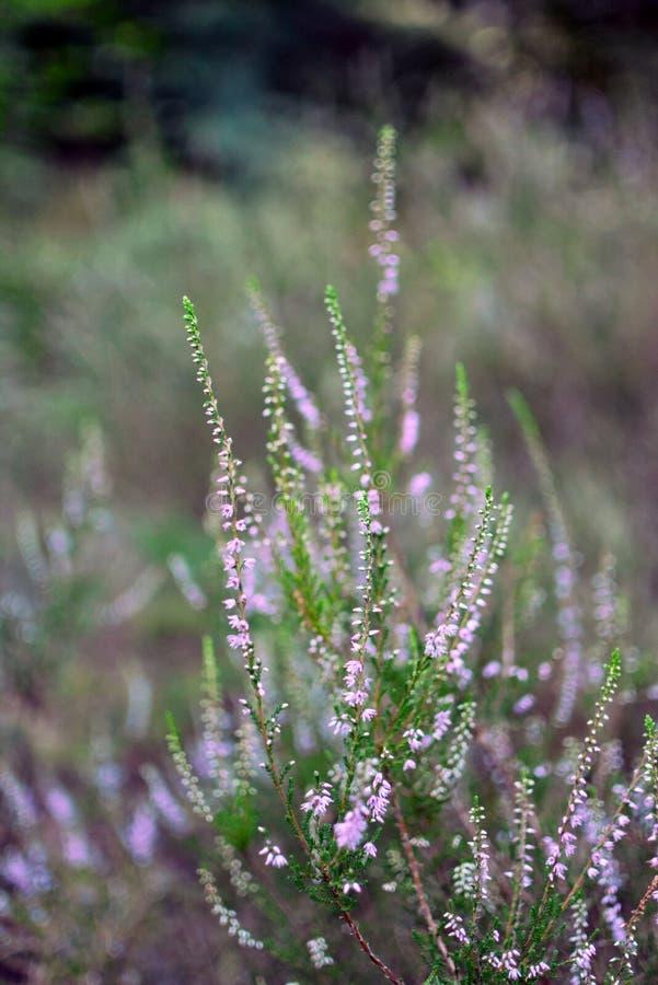 Bunch of booming pink common Heather Calluna vulgaris flower detailed stock photos