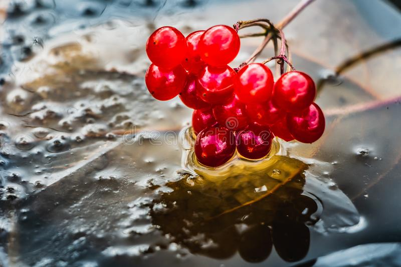 A bunch of bright red ripe viburnum berries on dark transparent ice with a yellow leaf and bubbles royalty free stock photography