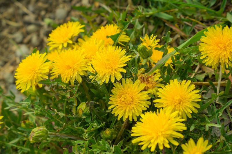 Bunch of bright yellow dandelion flowers with leaves and grass royalty free stock photography