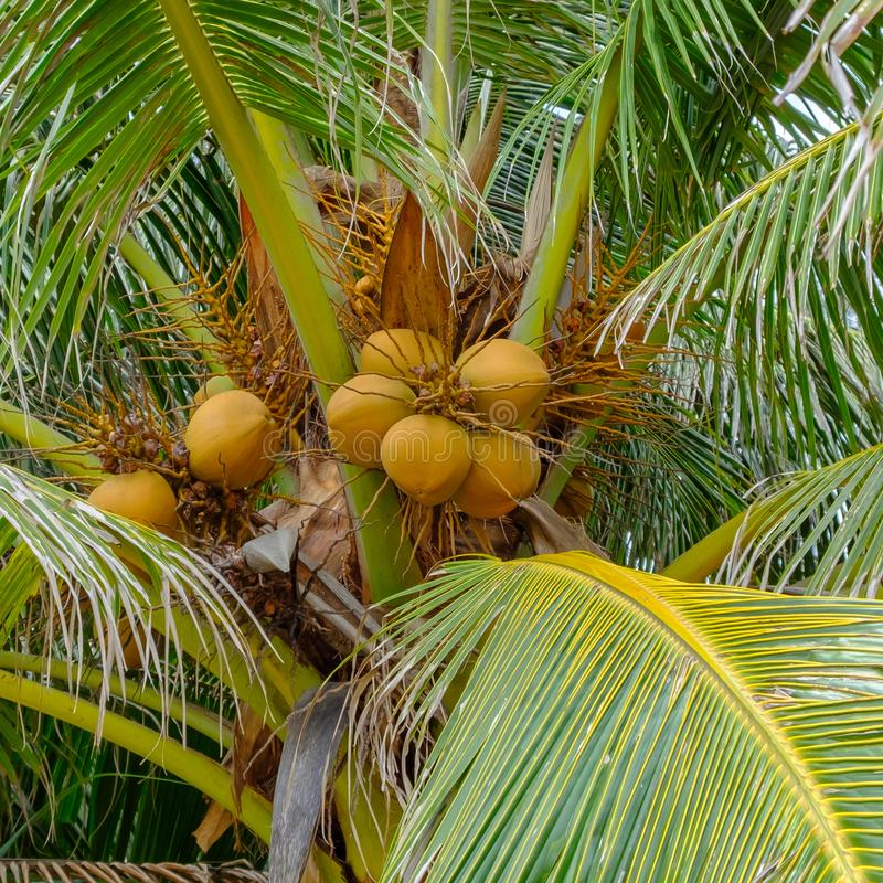 Bunch of brown coconuts on a coconut palm.  royalty free stock images