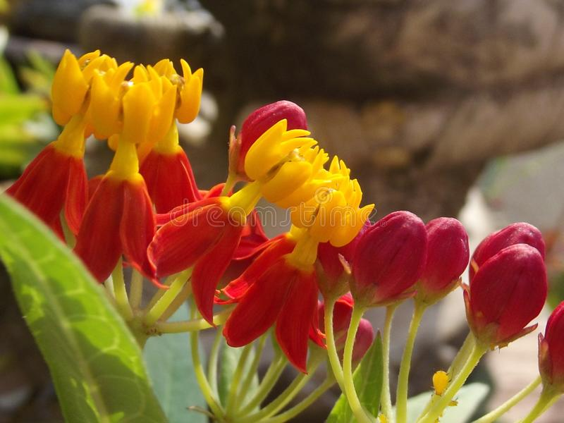 A bunch of Butterfly Weed flowers. stock images