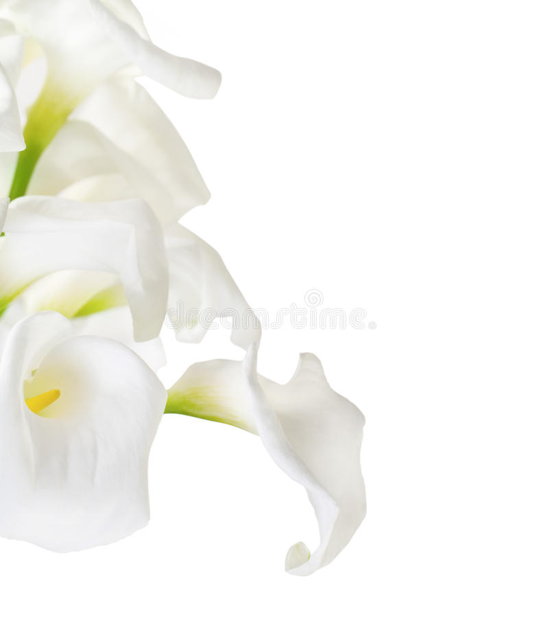 Bunch of Cala Lilies. In high key isolated on white royalty free stock image