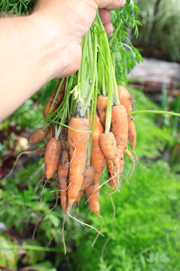 Bunch of Carrots stock image