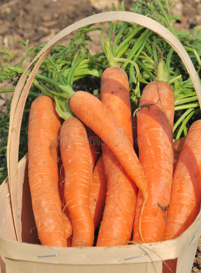 Download Bunch of carrots stock photo. Image of organic, garden - 24130326
