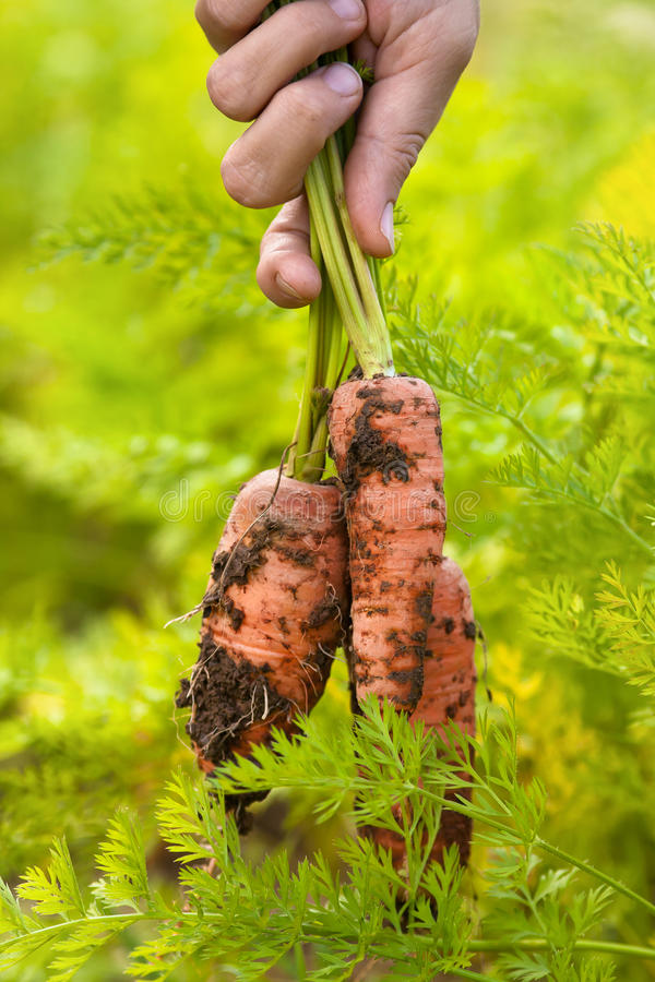 Bunch of carrots pulled from the vegetable garden. Closeup royalty free stock image