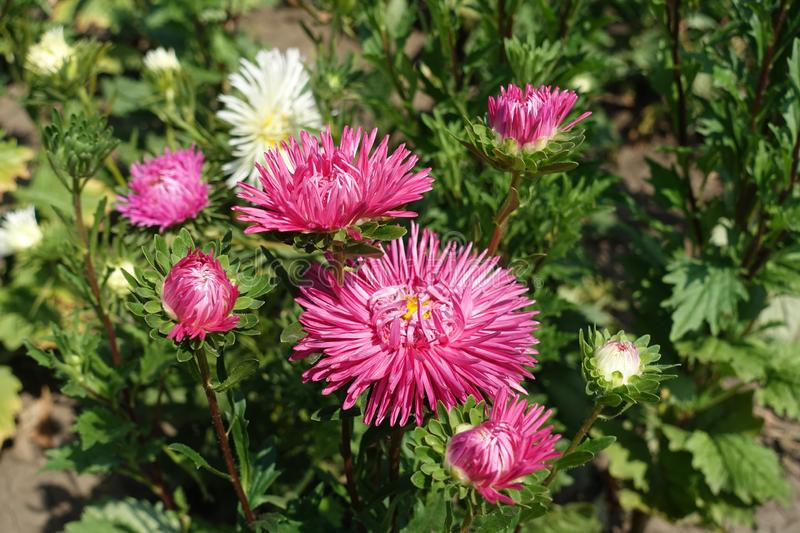 Bunch of pink flower heads of China aster. Bunch of cerise pink flower heads of China aster stock photo
