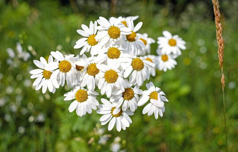 Bunch Of Chamomile Flowers Free Public Domain Cc0 Image