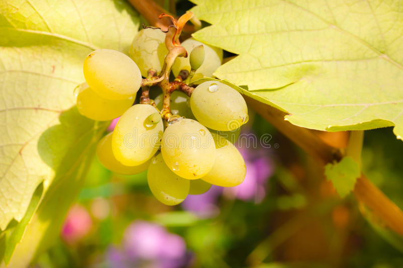 Bunch of chardonnay grapes royalty free stock photo
