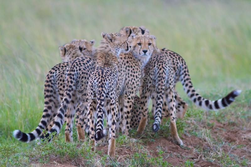 Bunch of Cheetahs royalty free stock images