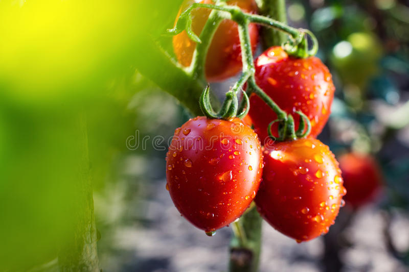 Bunch of cherry tomatoes red green in water drops,Ripe natural t royalty free stock photos