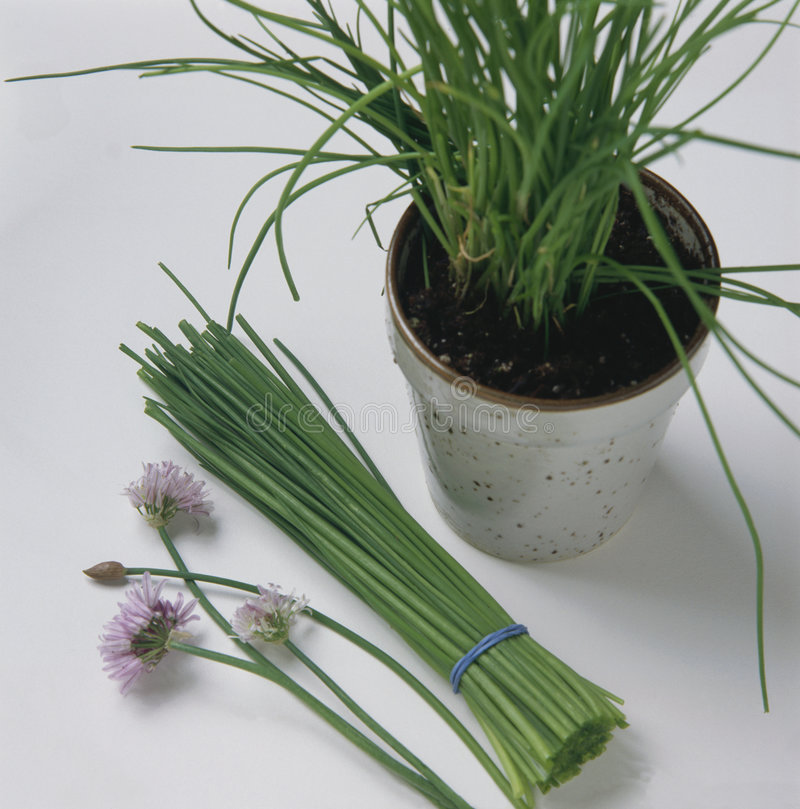 Bunch of chives. Chive flowers and chives in pot royalty free stock photo