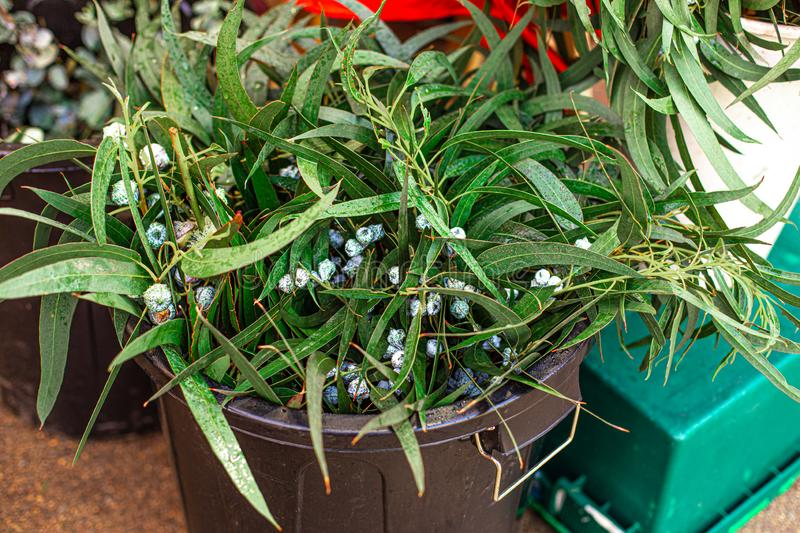 Bunch of Christmas  mistletoe plant on a market  in Europe. Omela. Traditional Christmas symbol royalty free stock images