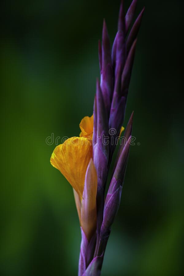 A Bunch of closeup orange canna lily flower. A bunch of blooming macro closeup orange canna lily flower in dark background royalty free stock photography