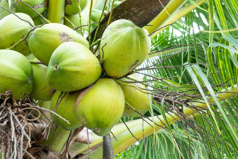 Bunch of coconut stock photo