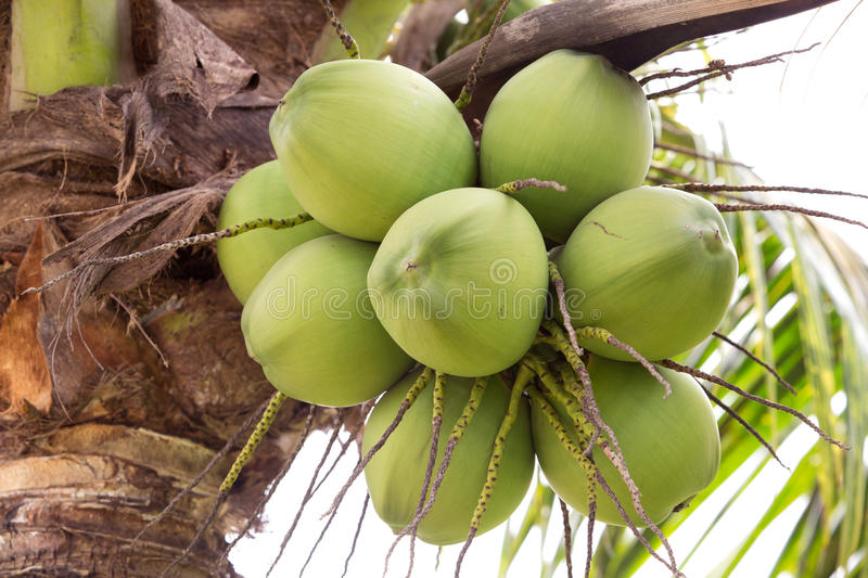 Download Bunch of coconuts stock image. Image of leaf, food, close - 28642159